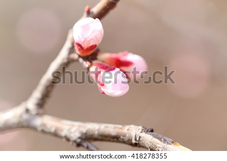 Blooming pink flower buds, close up - stock photo