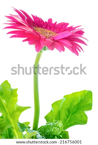 blooming pink flower gerbera  is isolated on white background, closeup  - stock photo
