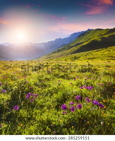Blooming pink flowers in the Caucasian mountains in summer sunrise. Upper Svaneti, Georgia, Europe. - stock photo