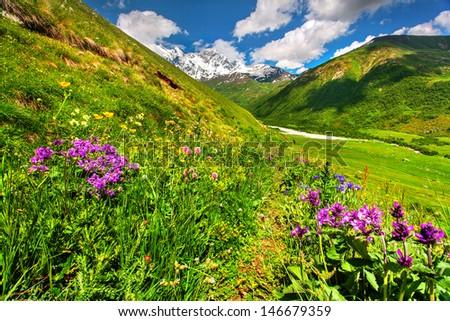 Blooming pink flowers in the mountain. Georgia, the main Caucasian ridge. - stock photo