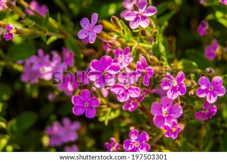 Blooming pink meadow flowers (Phlox douglasii) - stock photo