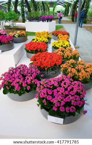Blooming pink, orange and yellow Kalanchoe in Keukenhof Park, Lisse in Holland. - stock photo