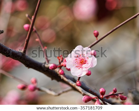 Blooming pink plum blossom. - stock photo