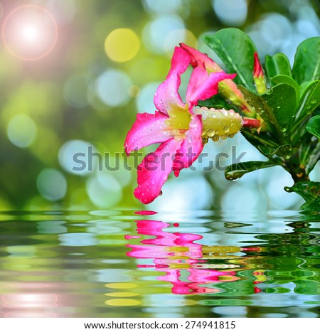 Blooming Pink Rhododendron Afer Rain with reflect in water - stock photo