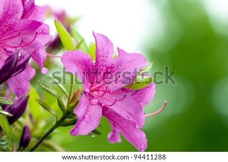 Blooming Pink Rhododendron (Azalea) Afer Rain, close-up, selective focus