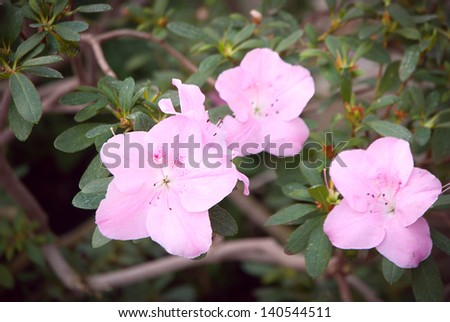 Blooming Pink Rhododendron (Azalea) close-up, - stock photo