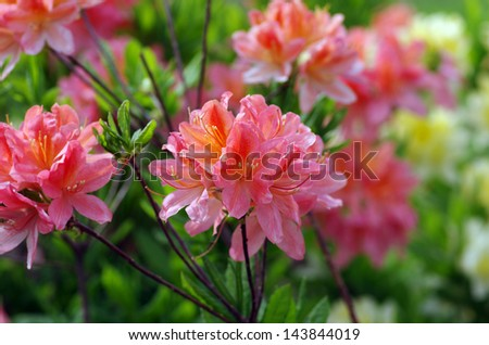 Blooming Pink Rhododendron (Azalea), close-up, selective focus - stock photo