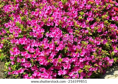 Blooming pink rhododendron background - stock photo