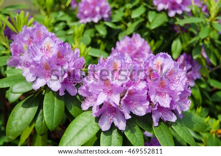 Blooming Pink Rhododendron close-up