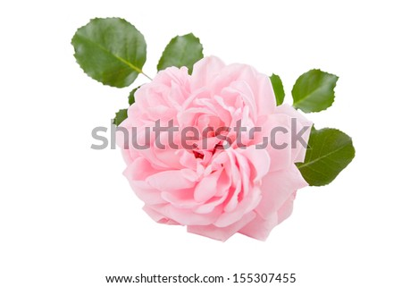 Blooming pink rose on white Background. - stock photo