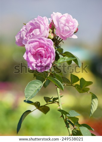 blooming pink roses in garden - stock photo