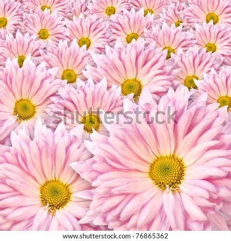 Blooming pink Shasta Daisy flowers (Chrysanthemum). - stock photo