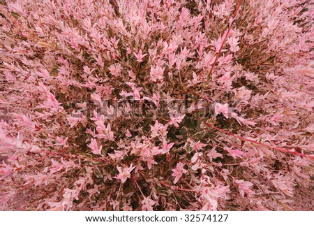 Blooming pink willow tree summer stock photo royalty free 32574127 blooming pink willow tree in summer mightylinksfo Images