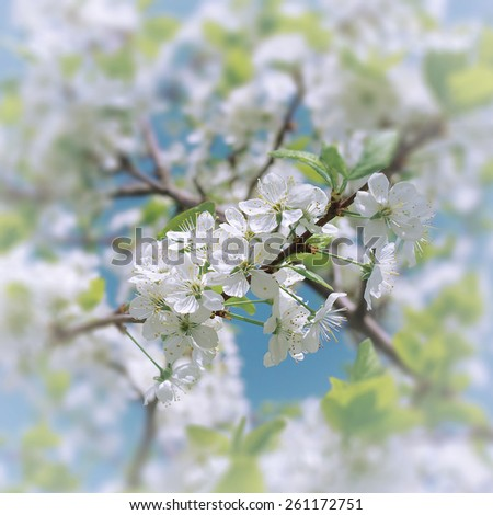 Blooming plum branches in the spring garden on blur background of spring garden - stock photo