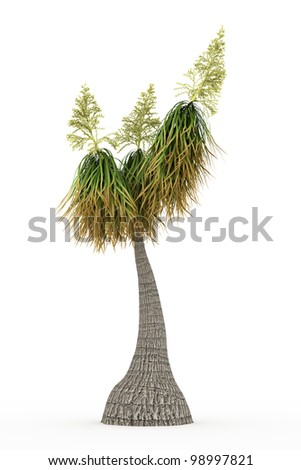 blooming Ponytail Palm  isolated over white