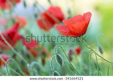 Blooming poppies - stock photo