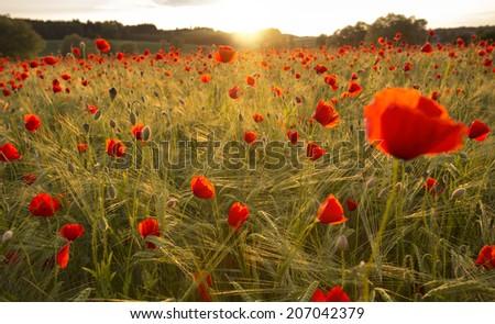 Blooming poppy field in warm evening light - stock photo