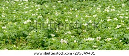 blooming potato field - stock photo