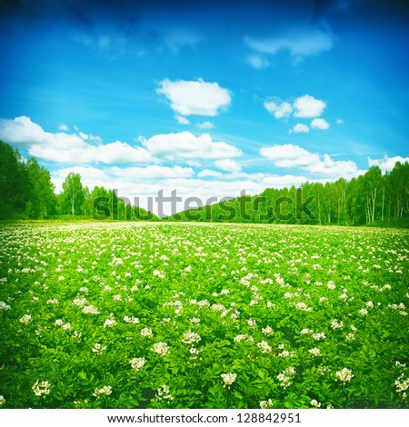 Blooming potato field,trees and blue sky with clouds. - stock photo