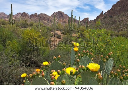 Blooming Prickly Pear Cactus and Saguaros in Hewitt Canyon. - stock photo