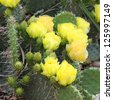 Blooming Prickly Pear or Paddle cactus with yellow flowers - stock photo