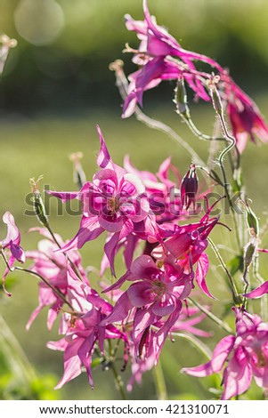 blooming purple and blue columbine in the garden - stock photo