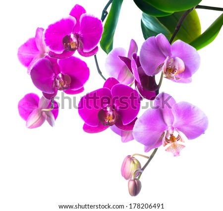 Blooming purple and soft lilac orchid is isolated on white background