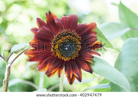 blooming purple and yellow sunflower flower seeds - stock photo
