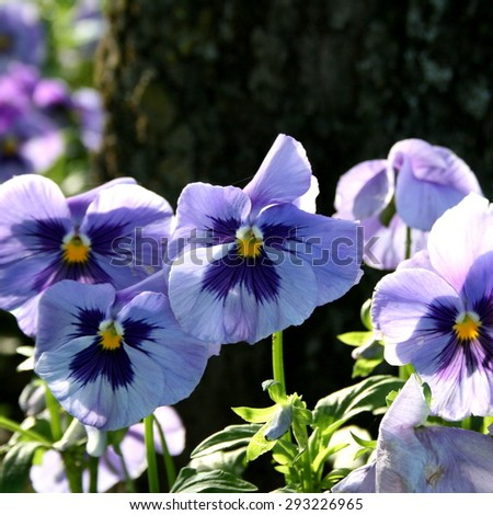 blooming purple pansy flowers closeup, spring day in garden - stock photo