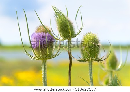 Blooming purple teasel in landscape at river - stock photo