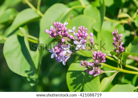 Blooming purple violet flowers. Lilac flower springtime landscape. soft focus. Lilac flowers bunch macro view. Springtime composition.