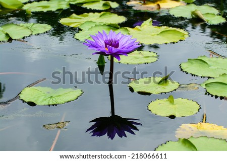 blooming purple waterlily in mornig - stock photo