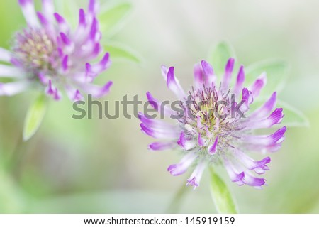Blooming red clover (Trifolium), closeup with shallow DOF - stock photo