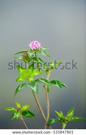 blooming red clover (trifolium pratense) with shallow dof - stock photo