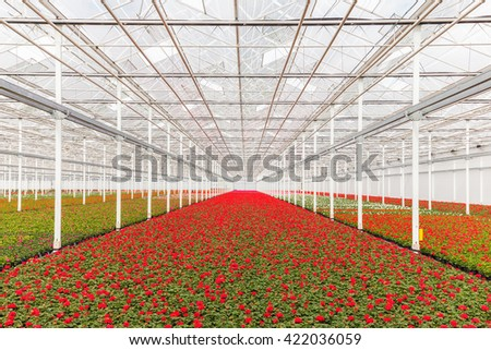 Blooming red geranium plants in a Dutch greenhouse - stock photo
