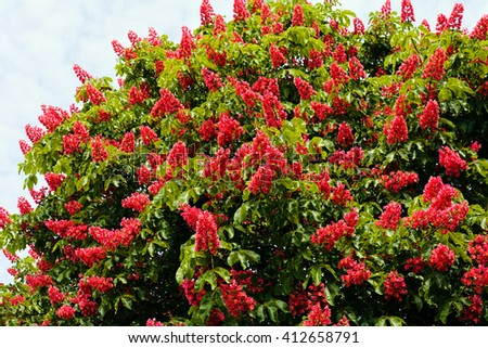 Blooming red horse-chestnut tree with red flowers