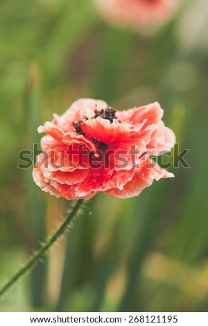 blooming red poppy flower  - stock photo