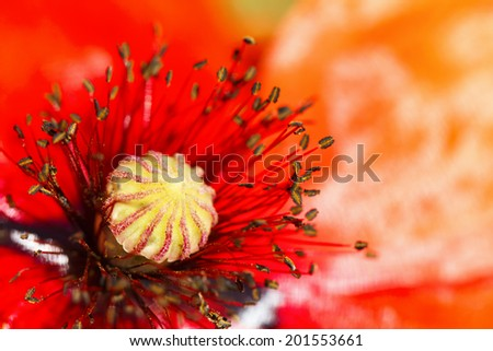 blooming red poppy flower macro - stock photo