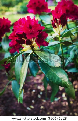 Blooming red rhododendron - stock photo