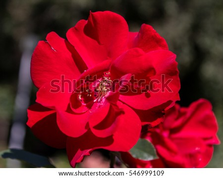 Blooming red roses in a garden in the afternoon
