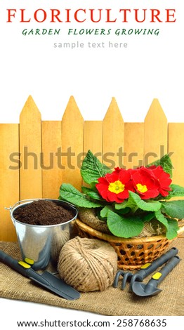 Blooming red spring primulas in flower bed with rake, shovel against wooden fence - stock photo