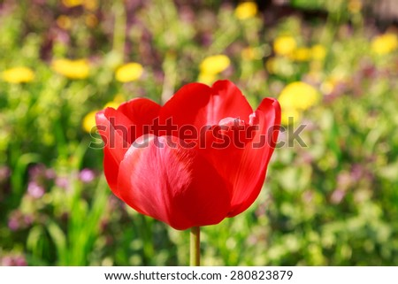 Blooming red tulip in the spring on a blurred natural background. - stock photo