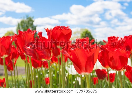 Blooming red tulips - stock photo