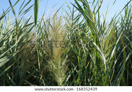 Blooming reed background - stock photo