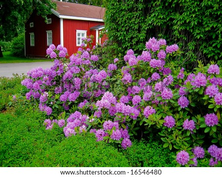 Blooming Rhododendron - stock photo
