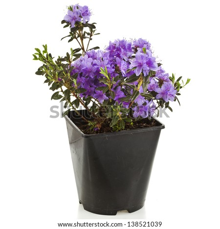 Blooming Rhododendron (Azalea)  in black plastic pot on a white background - stock photo