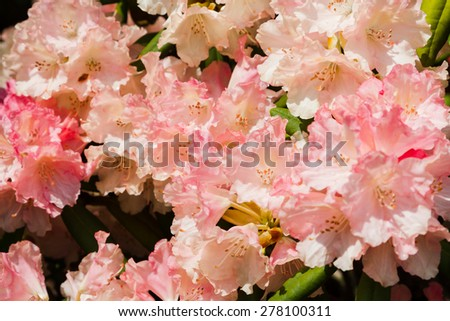 Blooming Rhododendron Loreley in a botanic garden, Poland - stock photo