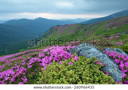 Blooming rhododendron. Mountain landscape. Summer flowers. Beauty in nature. Carpathians, Ukraine, Europe - stock photo