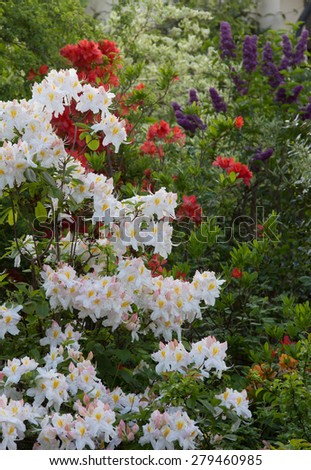 blooming rhododendron shrubs in white and red, purple lilac - stock photo