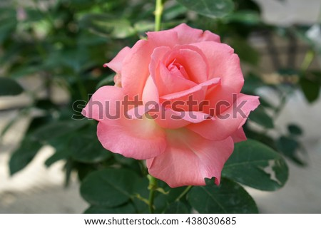 Blooming roses and buds in the garden                              - stock photo